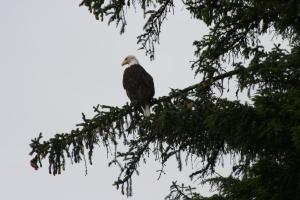 A proud Eagle looks down upon us. He was there for hours.